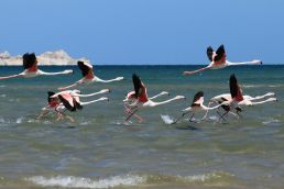 Flamingos in Dakhla
