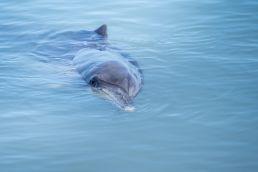 Delfin in Australien
